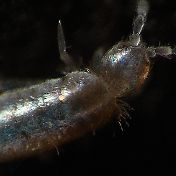 Springtail - Pseudosinella alba