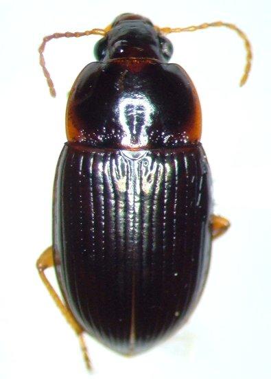 Amara musculis