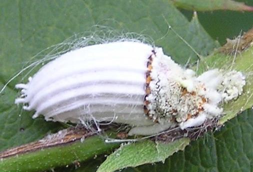 Cottony Cushion Scale Icerya Purchasi Bugguide Net