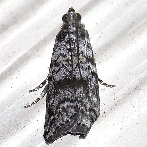 Moth - Dioryctria abietivorella