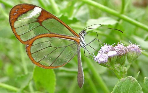 Pteronymia cotytto (Guérin-Méneville - Pteronymia cotytto