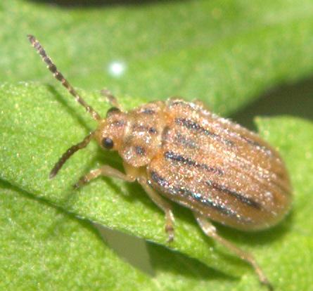 Beetle [=Ophraella communa?] ID Request - Ophraella communa