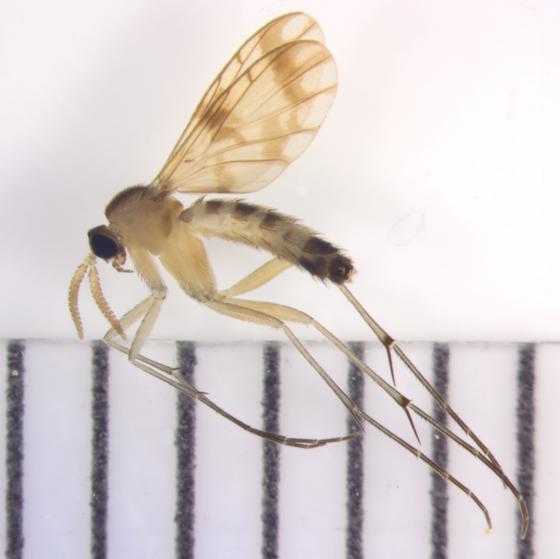 Keroplatidae, Predatory Fungus Gnat, lateral - Proceroplatus elegans - male