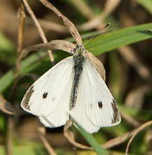 White butterfly with Black Spots - Pieris rapae - male