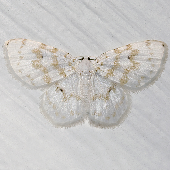 Fragile White Carpet - Hydrelia albifera
