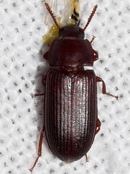 beetle - Cynaeus angustus
