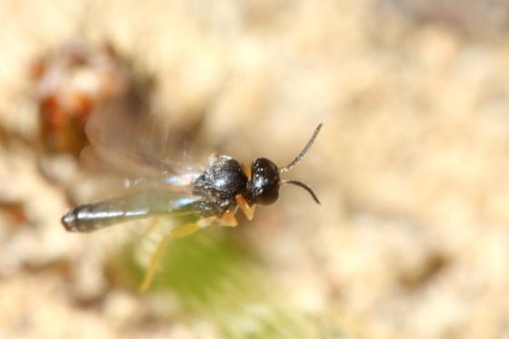 Braconid Wasp - Elasmosoma - female