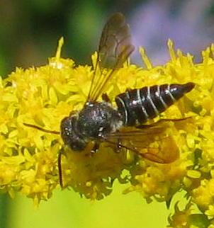 Unknown Wasp - Coelioxys modestus