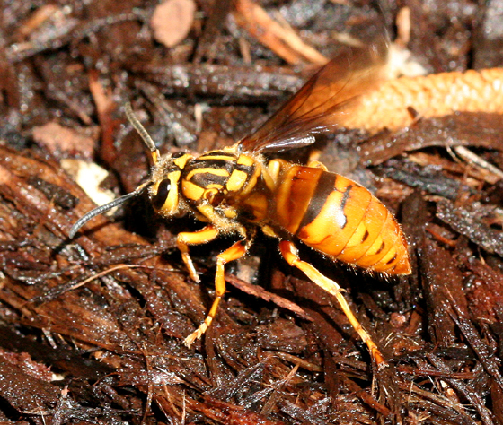 Southern Yellow Jacket - Vespula squamosa - female