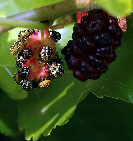 Beetle - Nezara viridula