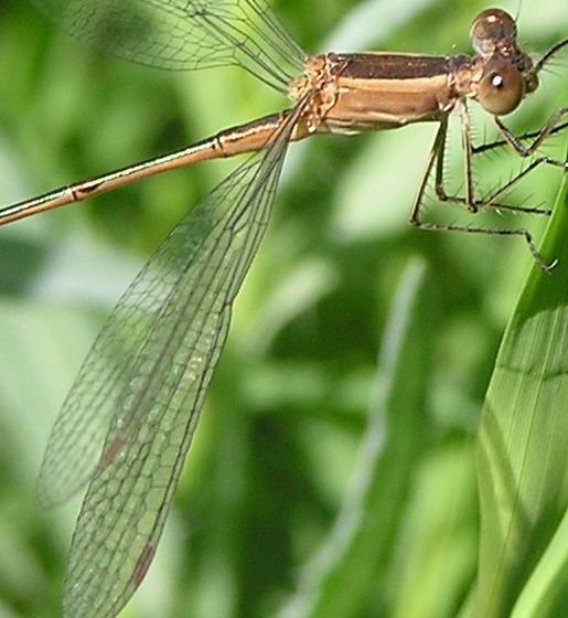 Unknown Spreadwing - Lestes alacer