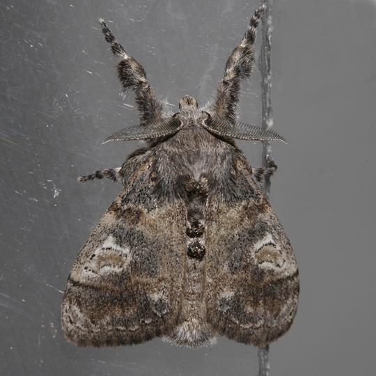 Dasychira vagans - male