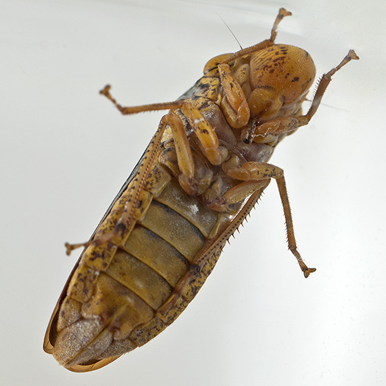 Hopper - Oncometopia nigricans