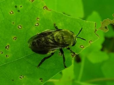 Bee mimic? - Microdon