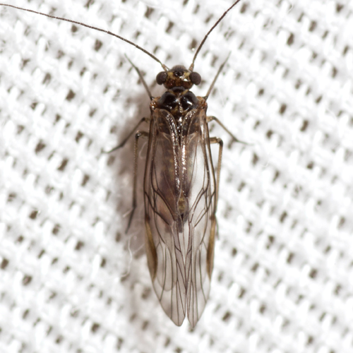 Common Barklouse - Blaste quieta - male