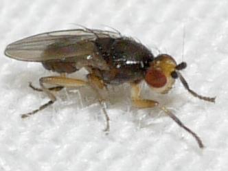 fly - Spelobia ochripes