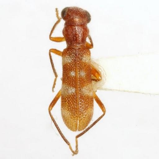 Isohydnocera albocincta (Horn) - Isohydnocera albocincta