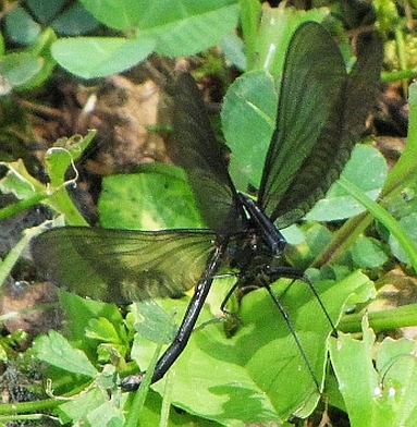 Ebony Jewelwing - Calopteryx maculata - male