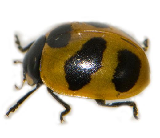 Tamarack Lady Beetle, diagonal view - Coccinella monticola