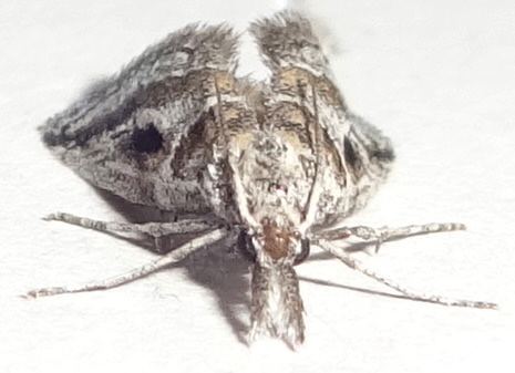 Grey Moth - Decaturia pectinalis - female