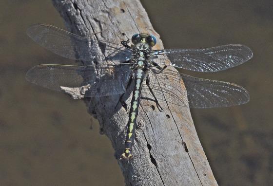 Dragonfly 4759 & 4762 - Arigomphus cornutus