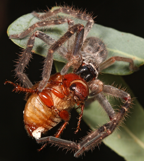 spider with scarab - Olios giganteus