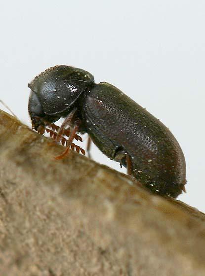 La muerte-Watch Beetle - Ptilinus sp?  - Ptilinus ruficornis