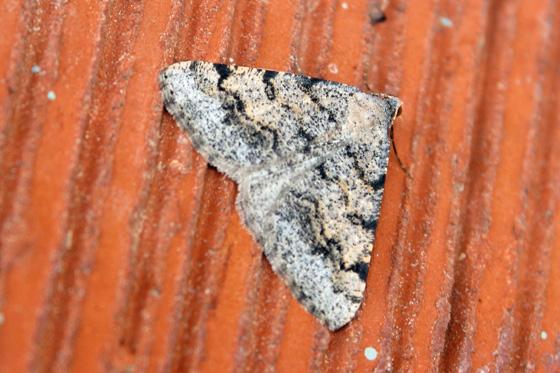 Moth ID? - Digrammia colorata