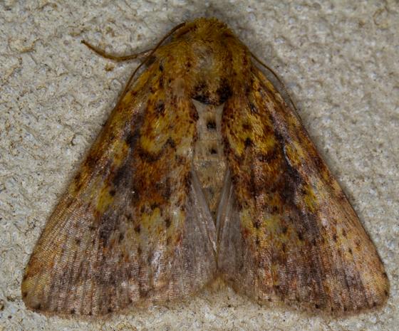 Moth - Perigea xanthioides