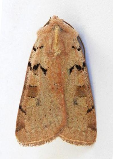 Arizona Moth  - Richia parentalis