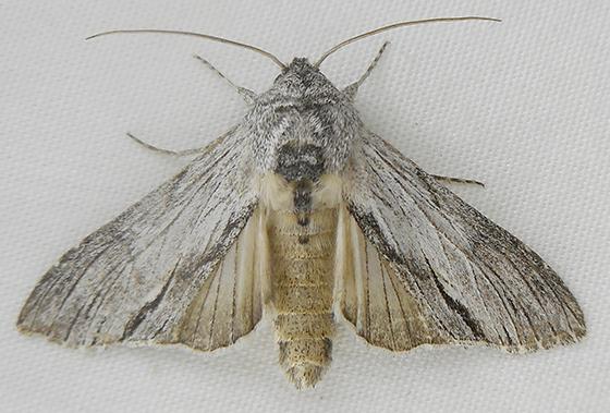 Moth - Cucullia eulepis