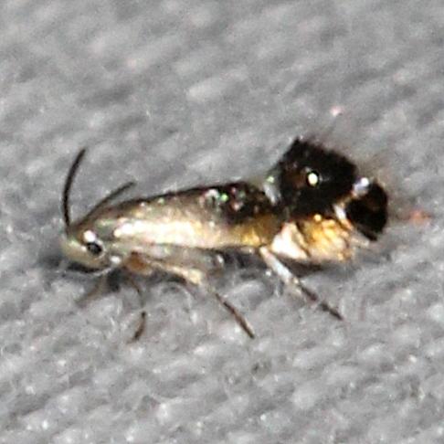 Moth - Coptodisca lucifluella