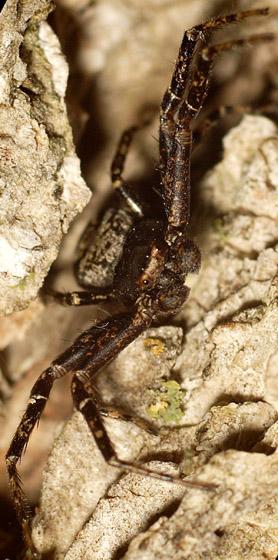 dark spider on tree - Coriarachne brunneipes