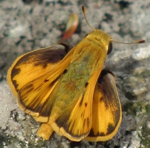 Hylephila phyleus - Fiery Skipper? - Hylephila phyleus - male