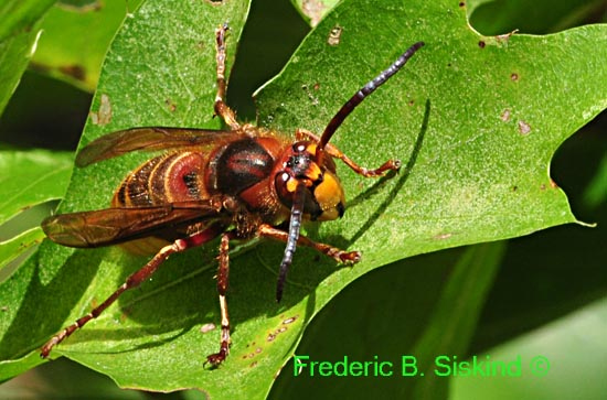 wasp or hornet maybe (DIN288) - Vespa crabro