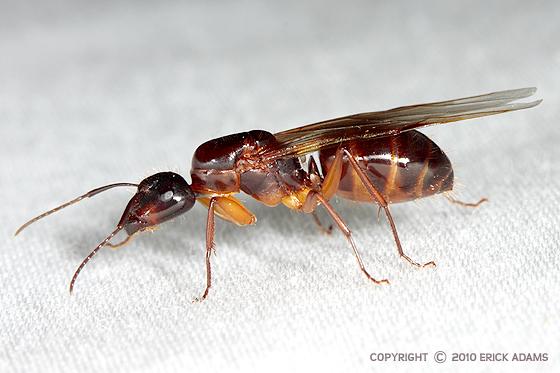 Camponotus americanus queen? - Camponotus americanus - female