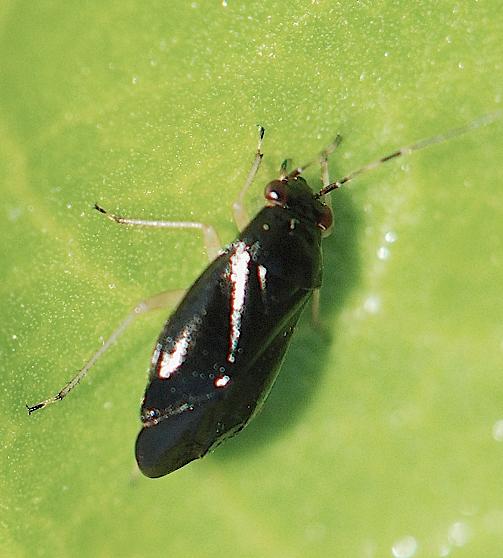 black plant bug - Slaterocoris pallipes