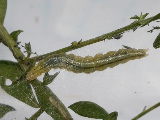 caterpillar on wild aster - Aug. 27 - Udea rubigalis