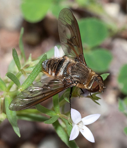 Exoprosopa sp. - Exoprosopa pueblensis