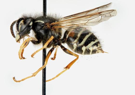 Dolichovespula norwegica, worker - Dolichovespula albida - female