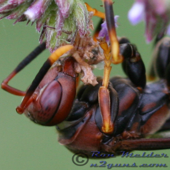 Wasp - Polistes annularis - female