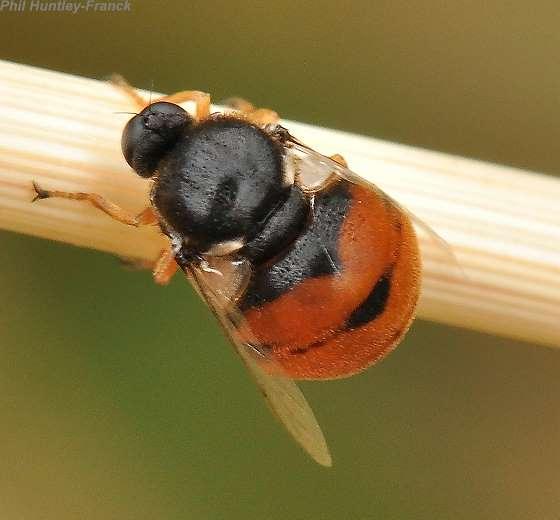 Fly - Acrocera obsoleta - male