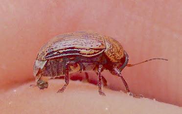 Beetle with Markings - Cryptocephalus