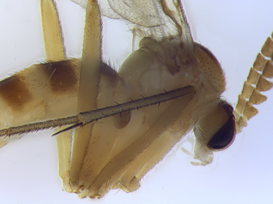 Ditomyiidae - thorax - Symmerus vockerothi - male