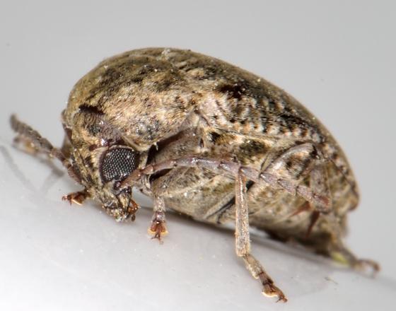 Mordellid? - Amblycerus robiniae