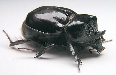 Strategus aloeus julianus - Strategus antaeus - male