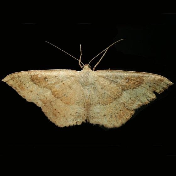 Tentative ID - Semaeopus gracilata