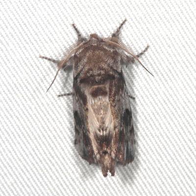 Schizura apicalis - male