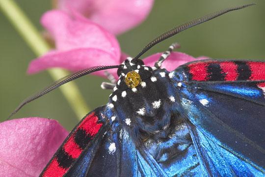 Faithful Beauty - Composia fidelissima - male