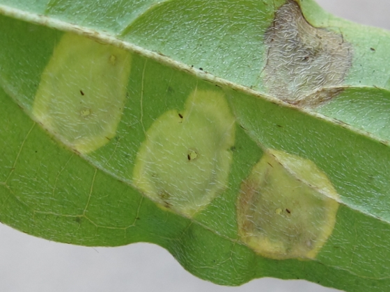 leaf galls - Parallelodiplosis subtruncata